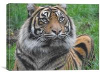 tiger waiting for next meal, Canvas Print