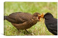 Blackbird family feeding, Canvas Print