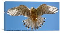 Kestrel hovering, Canvas Print