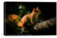 Red squirrel in sunlight, Canvas Print