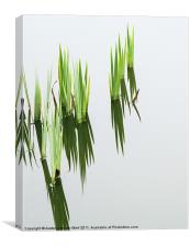 Reeds in pond 2, Canvas Print