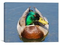 Mallard showing his best side, Canvas Print
