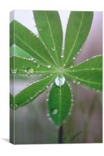 Lupin droplet, Canvas Print