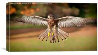 Kestrel Grace, Canvas Print