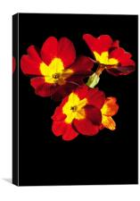 Red Hot Polyanthus, Canvas Print