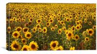 Sea Of Sunflowers, Canvas Print