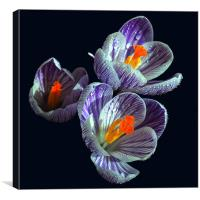 Crocus 2, Canvas Print