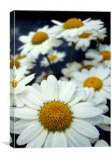 ox eye daisies, Canvas Print