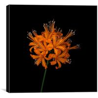 golden orchid, Canvas Print