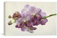 purple orchids, Canvas Print