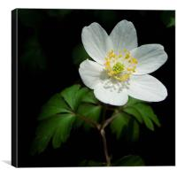 anemone nemorosa, Canvas Print