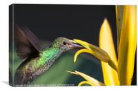 hummingbird feeding, Canvas Print