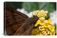 skipper Butterfly close-up, Canvas Print