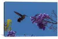 hummingbird feeding on a Jacaranda tree, Canvas Print