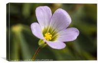 lilac oxalis with typical 5 petals, Canvas Print
