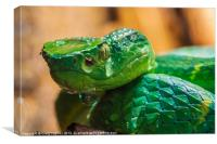 green tree pit viper, Canvas Print