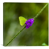 tropical green butterfly, Canvas Print