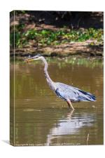 Great blue Heron eating a crayfish, Canvas Print