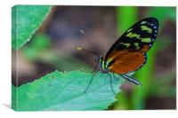 pretty tropical butterfly, Canvas Print