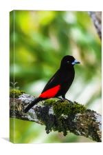 Male cherries tanager, Canvas Print