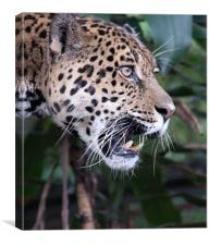Jaguar snarling, Canvas Print