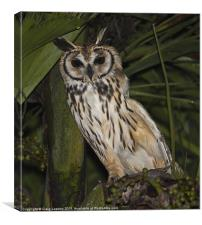 Striped owl sheltering in tree, Canvas Print