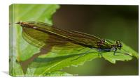 Damselfly or Demoiselle, Canvas Print