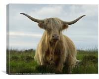 Highland cow, Exmoor, Canvas Print