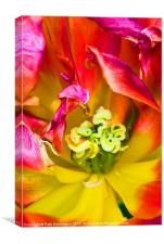Tulip close up, Canvas Print