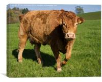 Limousin Cow, Canvas Print