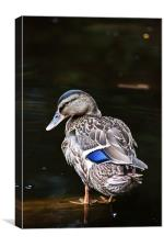 Blue-winged Teal, Canvas Print