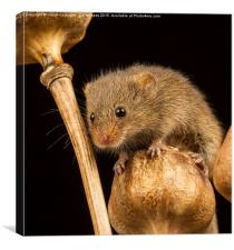 Harvest Mouse VI, Canvas Print