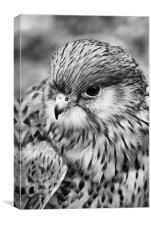 Kestrel Profile B & W, Canvas Print