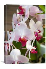 Truthful Orchid, Canvas Print