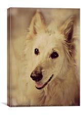 White German Shepherd., Canvas Print