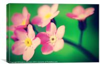 Pink-Forget-Me-not., Canvas Print