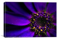 Purple Senetti., Canvas Print