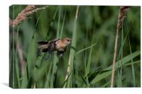 Flying through Reedbed , Canvas Print