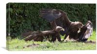 Sea Eagles Fighting over chick, Canvas Print