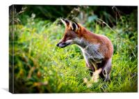 A Wild Red Fox Hunting, Canvas Print