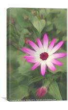 Senetti Pink Flower, Canvas Print