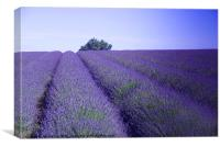 Lavender Fields Snowshill Cotswold, Canvas Print