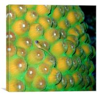 Small Wrasse Fish on Hard Coral, Canvas Print