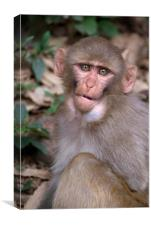 Young Rhesus Macaque with Food in Cheeks, Canvas Print