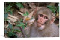 Young Rhesus Macaque Monkey with Food in Cheeks, Canvas Print