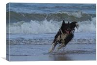 Border Collie in the water, Canvas Print