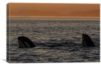 Orcas in Johnstone Strait at sunset, Canvas Print