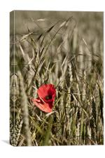 Poppy in Barley, Canvas Print