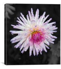 Drenched dahlia, Canvas Print