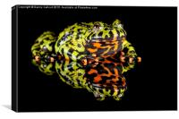 Oriental fire-bellied toad, Canvas Print